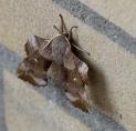 Welke vlinders leven er in Amstelveen?