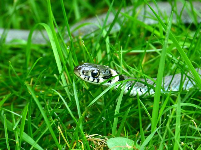 Ringslangen in het Amsterdamse Bos