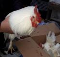 Kippen gedumpt bij speelboerderij Elsenhove Amstelveen