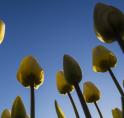 Amstelveense bloembollen-invasie in strijd tegen eikenprocessierups