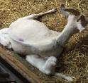 Eerste lammetjes geboren op Geitenboerderij