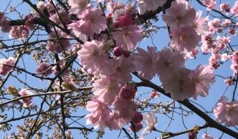 Bezoekers genieten van opening Cherry Blossom Festival