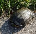 Schildpad op pad in Amstelveen