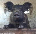 LINDA maakt fotoshoot van zwijn Wildeman