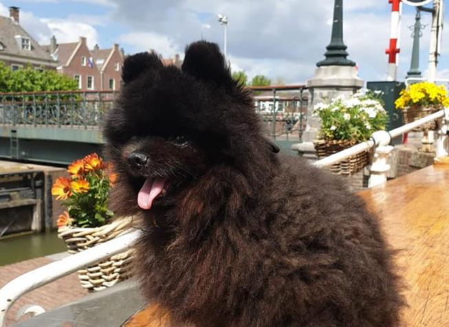 Tijdens uitlaatronde gestolen hond weer terug bij baasje in Amstelveen